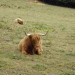 Hippie cow (5)