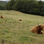 Hippie cow (7)